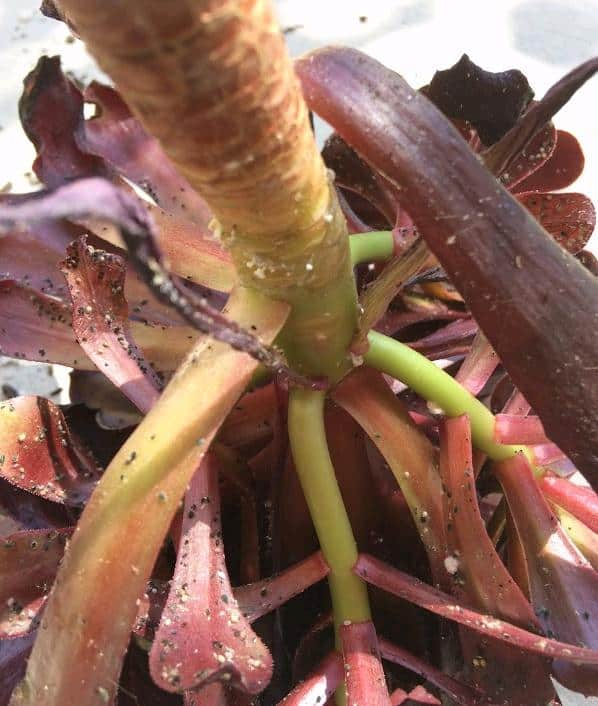 aphids on aeoniums