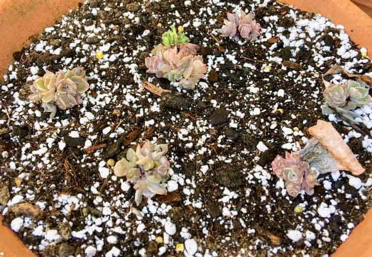 how to propagate an echeveria through leaves