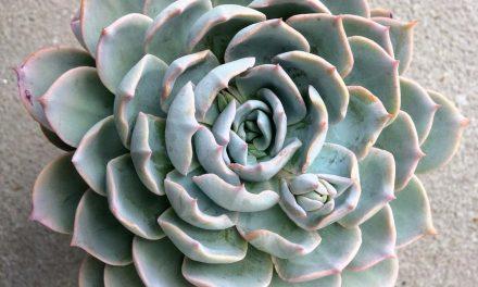 How to Grow and Propagate Echeverias