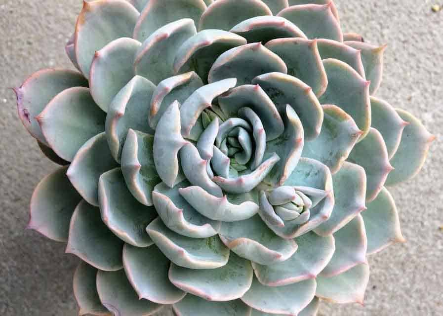 How to Grow and Propagate Echeverias