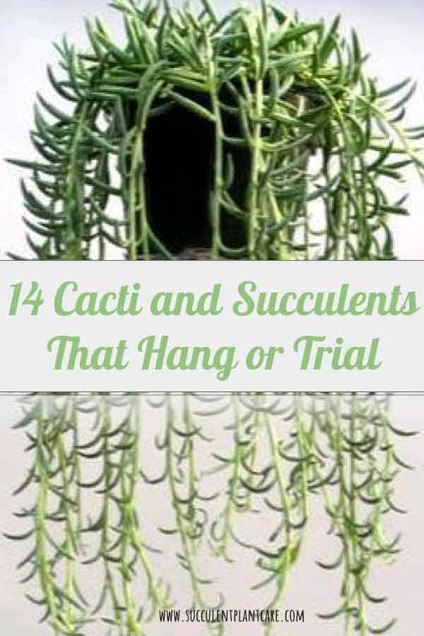 14 Cacti and Succulents that Hang or Trail (With Pictures