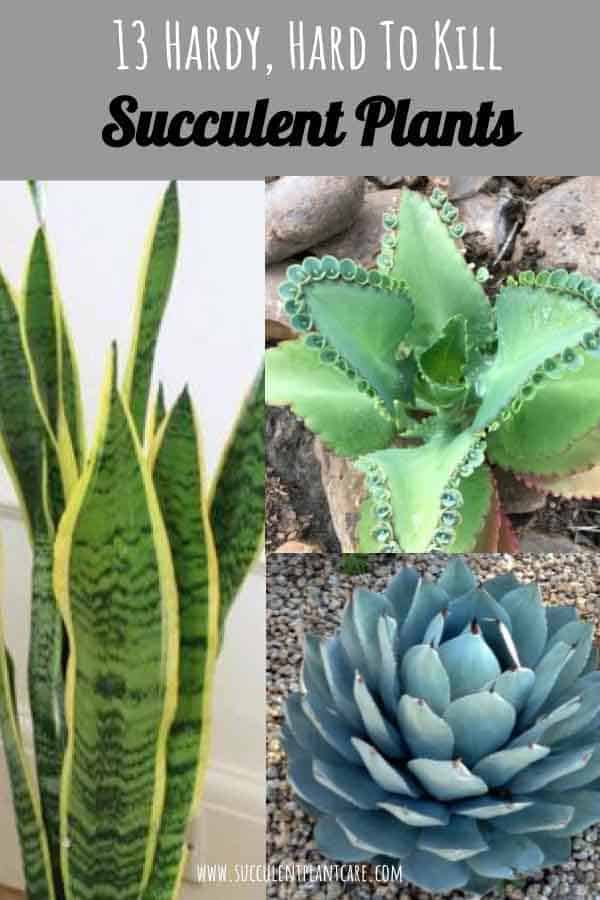 13 Hardy, Hard-to-Kill Succulents