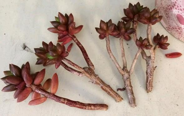 Sedeveria 'Jet Beads' (Jet Beads Stonecrop) stem cuttings for propagation