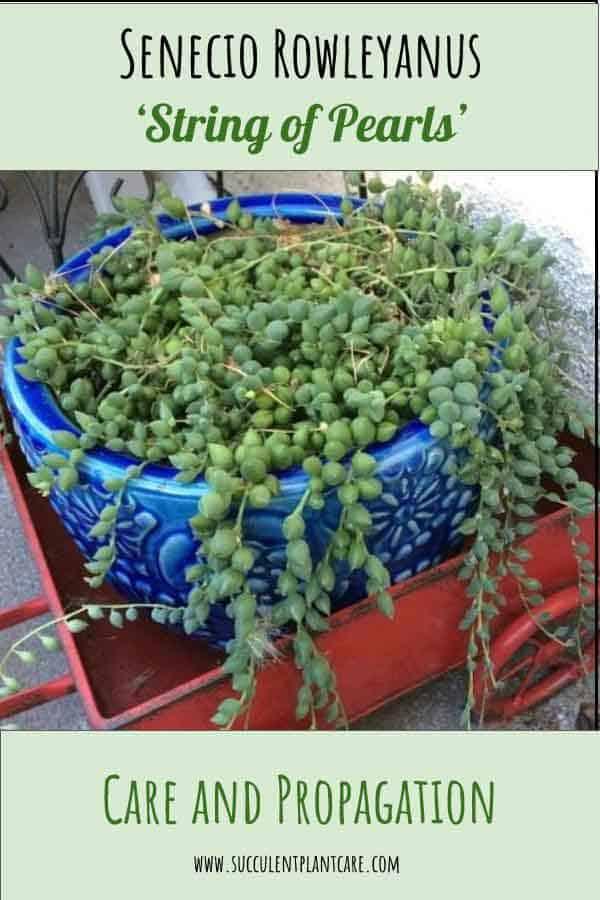 String of Pearls Plant-Senecio Rowleyanus Care and Propagation