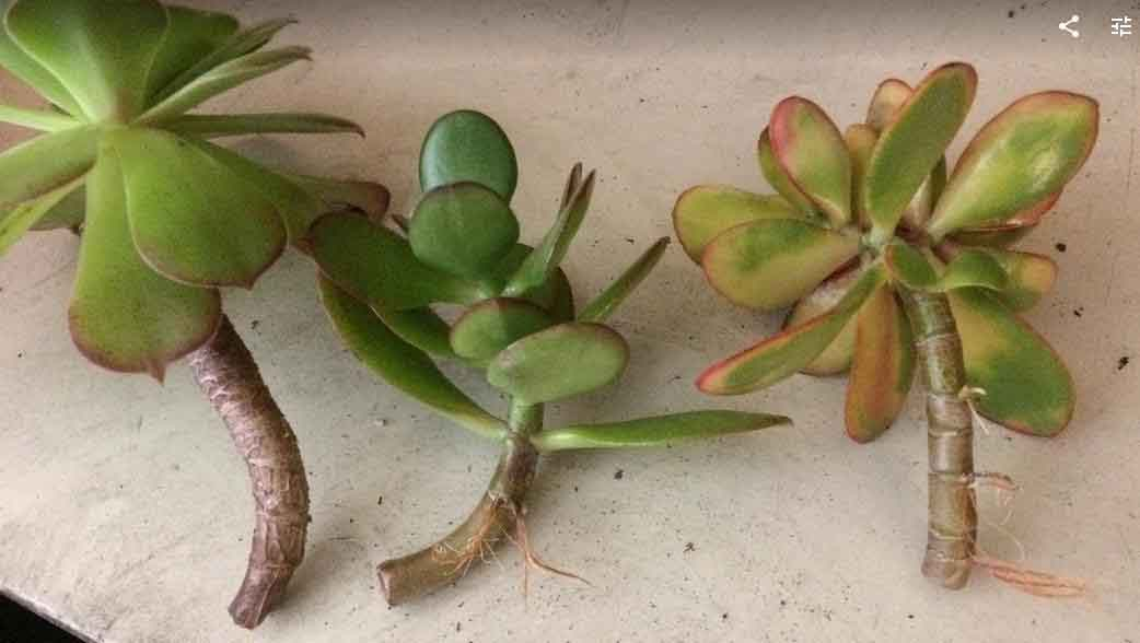 Water Propagation For Succulents A How To Guide Succulent
