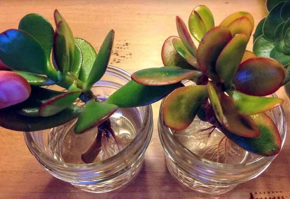 Succulent stem cuttings for water propagation