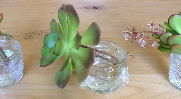 Does Water Propagation Work for Succulents?