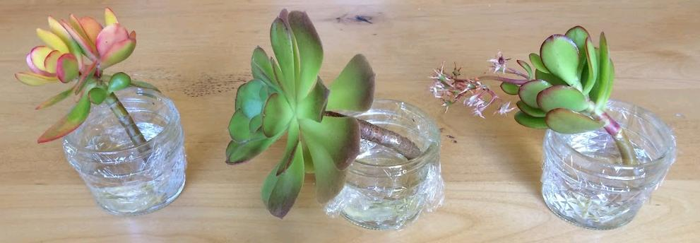 Does Water Propagation Work For Succulents Succulent Plants And