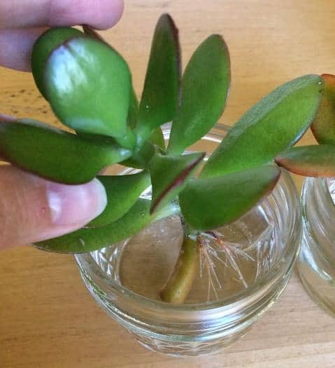 Jade plant stem cutting rooting and propagating in water