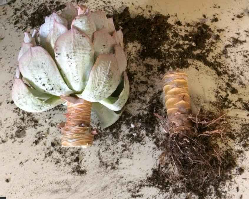beheading an echeveria for propagation