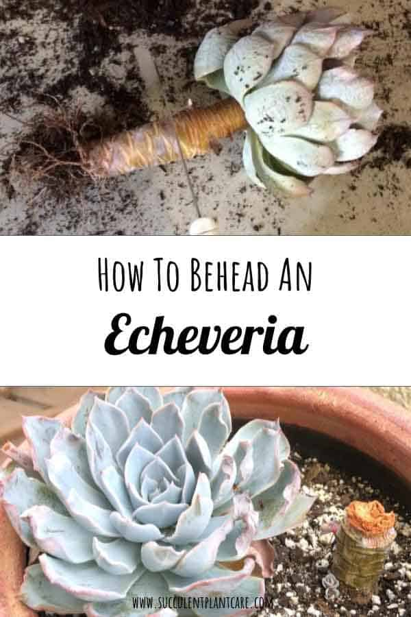 How to Behead an Echeveria and Cut Off Bloom Stalks