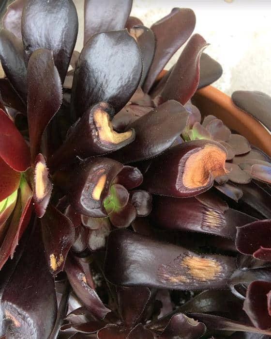 sunburned leaves on Aeonium arboreum 'Zwartkop' (Black Rose)