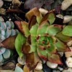 Why Do Succulent Leaves Turn Brown, Yellow or Black?