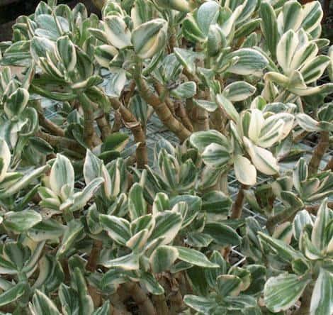 Crassula Ovata 'Variegata' (Variegated Jade Plant)