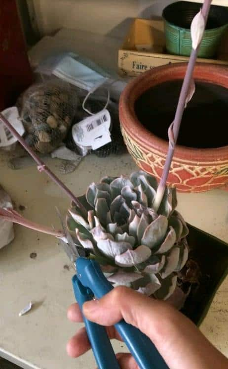 Cutting off bloom stalks from an echeveria after it bloomed