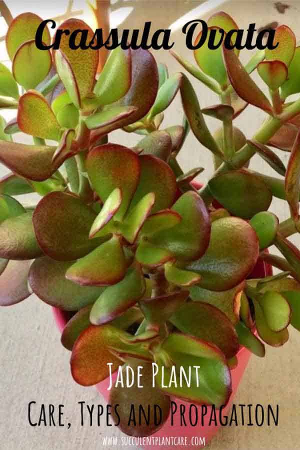 Crassula Ovata 'Jade Plant' with green leaves and red tips