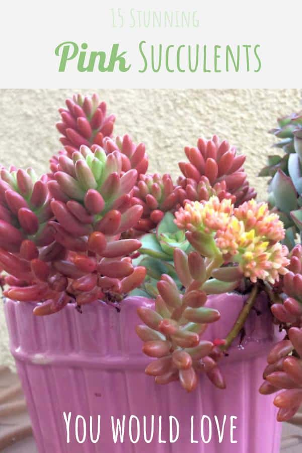 15 Stunning Pink Succulents You Would Love (With Pictures