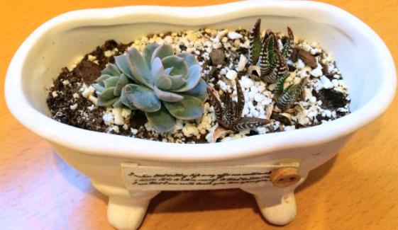Miniature succulents in small pots, mini echeveria, mini haworthias zebra plant