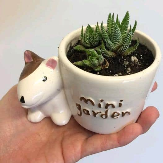 Miniature succulents in small pots, mini haworthia attenuata zebra plant