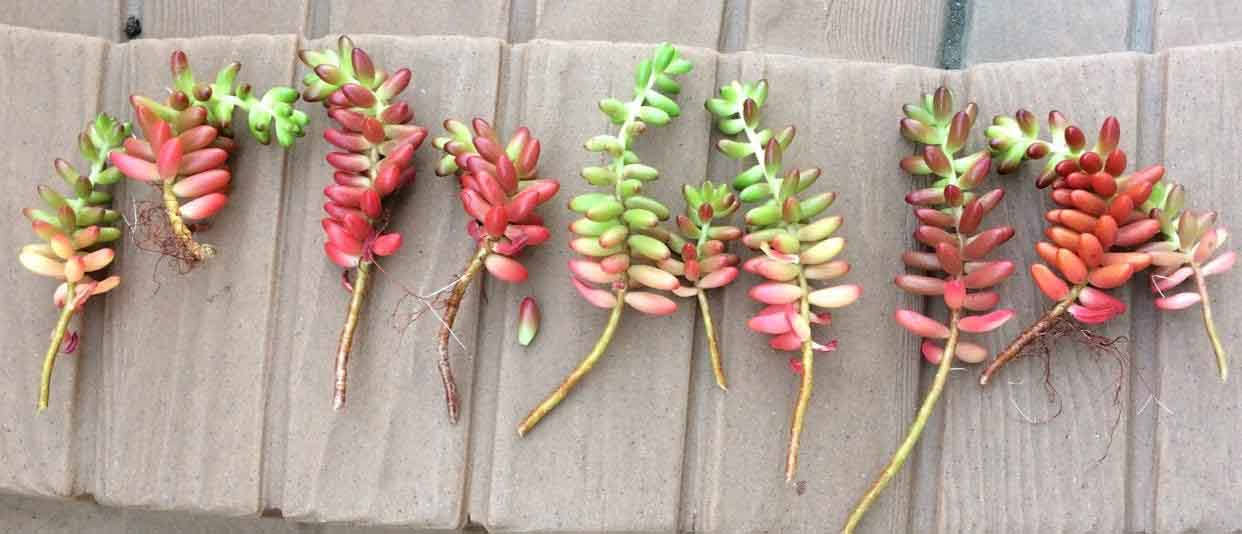Sedum Rubrotinctum 'Jelly Bean Plant' stem cuttings for propagation