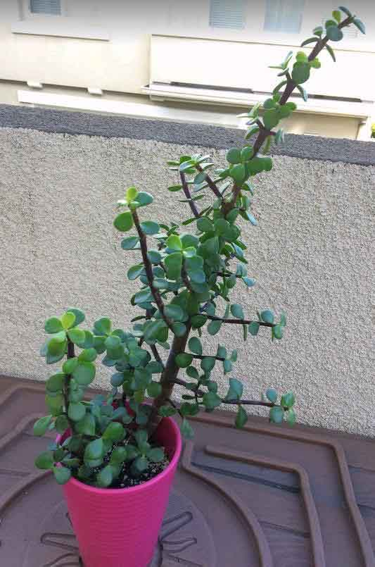 Portulacaria Afra 'Elephant Bush' rooted stem cutting
