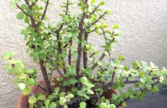 Portulacaria Afra-Elephant Bush Care, Types and Propagation