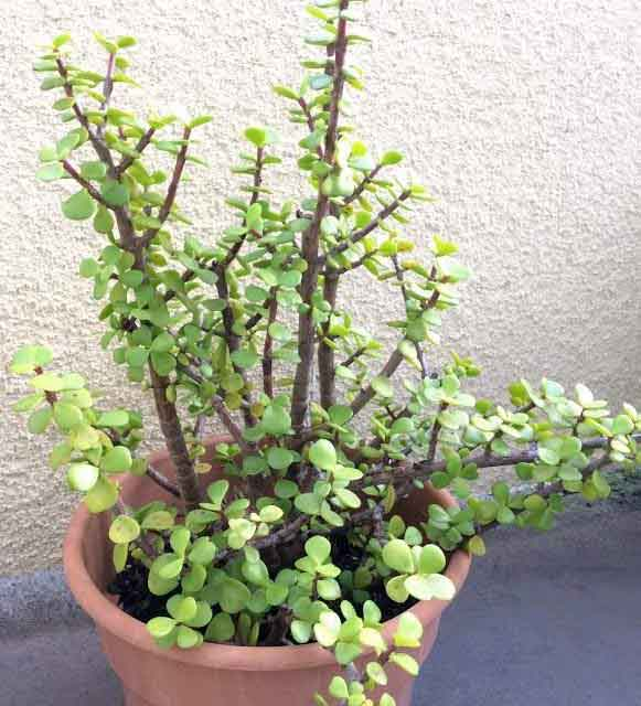 Portulacaria Afra Elephant Bush Care Types And Propagation