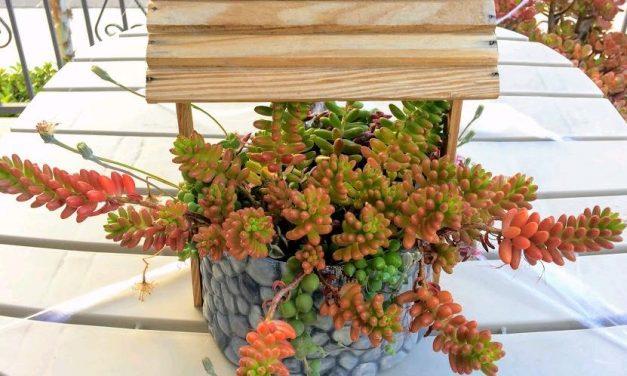 Sedum Rubrotinctum-Jelly Beans Care, Propagation, Toxicity, Blooms