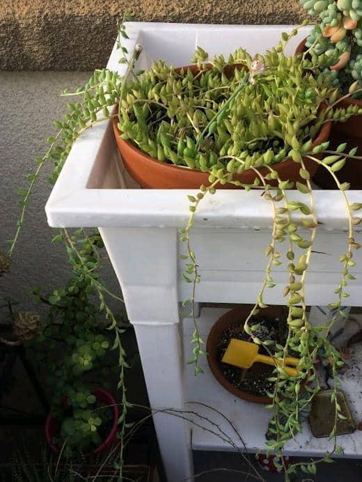 Senecio Radicans 'String of Bananas' Plant with long trailing stems