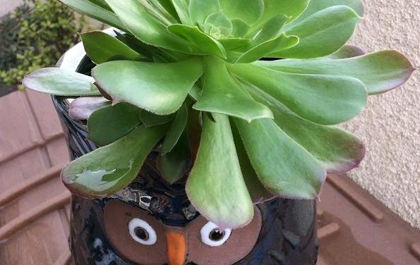 Aeoniums Care, Soil, Sunlight, Watering, Propagation, Pests