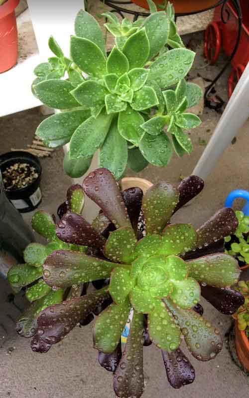 Aeonium Zwartkop 'Black Rose' and Aeonium Decorum 'Green Pinwheel' wet from rain