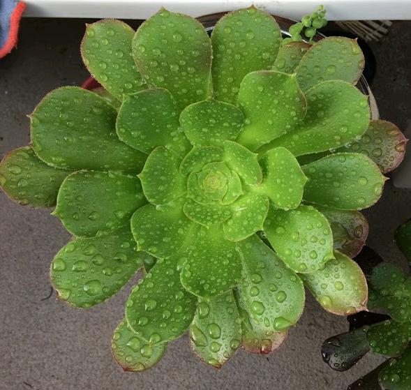 Aeonium 'Blushing Beauty' wet from rain