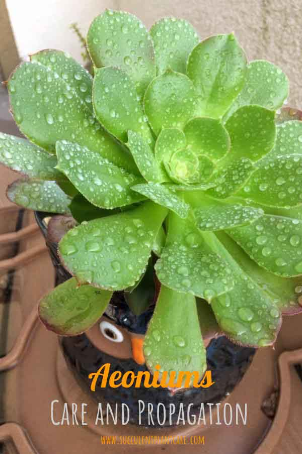Aeonium in owl planter wet from rainwater