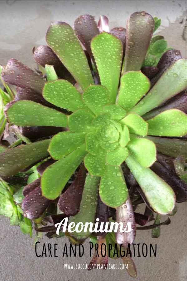 Aeonium Zwartkop 'Black Rose' wet from rain