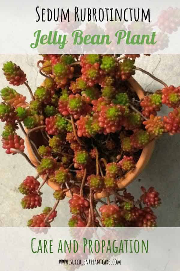 Sedum Rubrotinctum 'Jelly Bean Plant' or 'Christmas Cheer' with green and red foliage