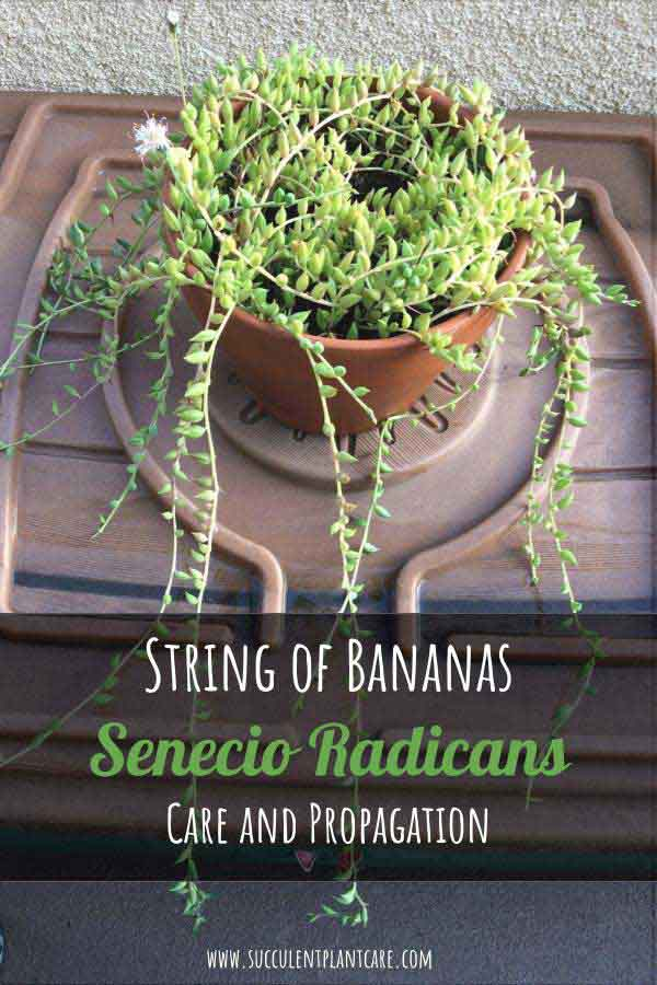 Senecio Radicans 'String of Bananas' Plant with long trailing stems and white fuzzy flowers