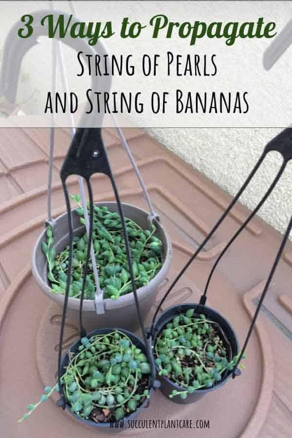 Senecio Rowleyanus String of Pearls propagation, Senecio Radicans String of Bananas propagation