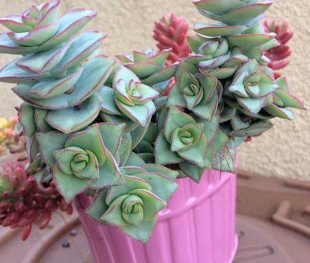 Crassula Perforata 'String of Buttons' Care and Propagation