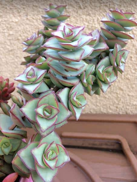 Crassula Perforata 'String of Buttons' Plant with light green leaves and rosy pink edges