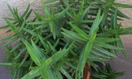 Crassula Tetragona-Miniature Pine Trees Care, Propagation