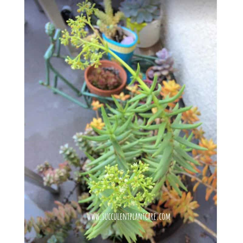 Crassula Tetragona Miniature Pine Trees with small yellow and white flowers