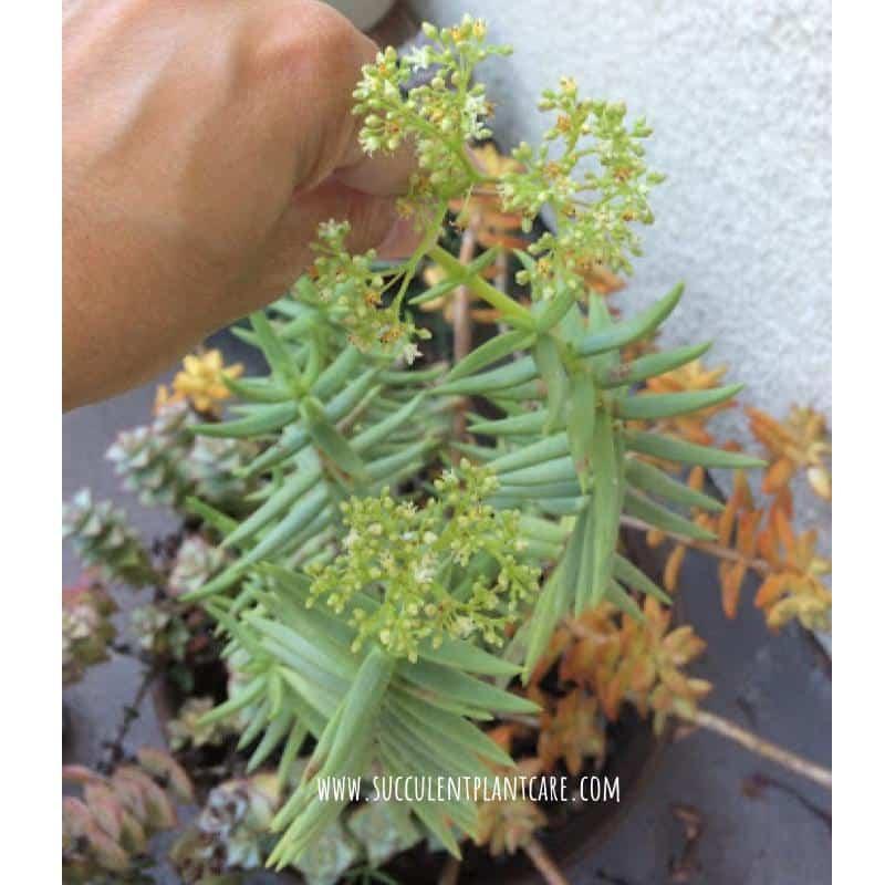Crassula Tetragona Miniature Pine Trees with small white and yellow flowers