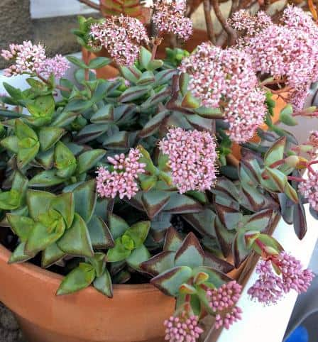 Crassula Rupestris 'High Voltage' Plant in bloom with clusters of pink flowers