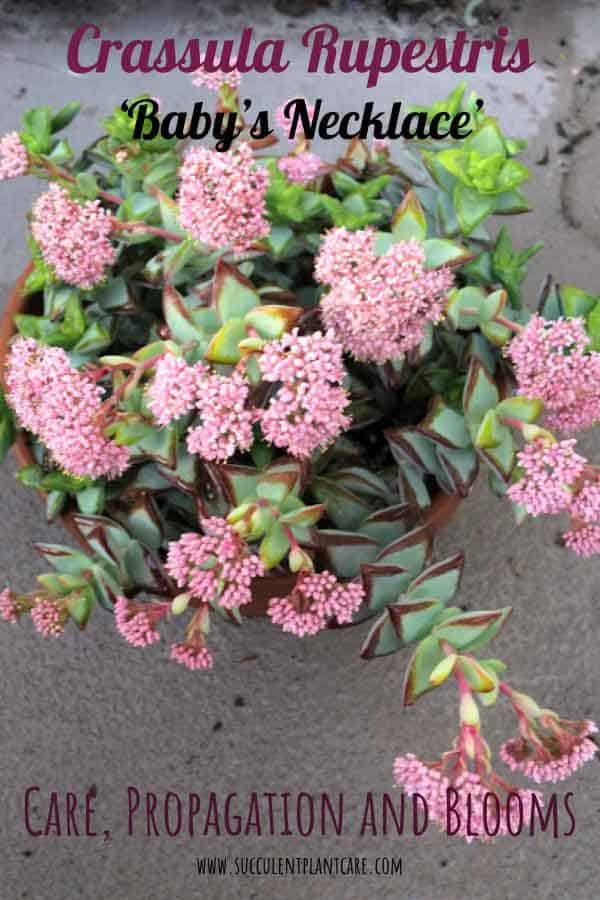 Crassula Rupestris 'High Voltagee' Plant in bloom with clusters of pink flowers