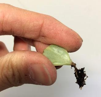 Portulacaria Afra Variegata 'variegated Elephant Bush' rooted leaf cutting