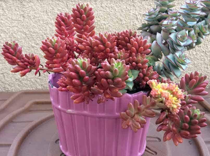 Sedum Rubrotinctum Aurora-Pink Jelly Beans Care, Propagation
