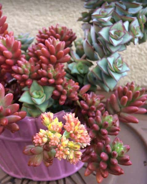 Sedum Rubrotinctum Aurora Pink Jelly Beans in bloom