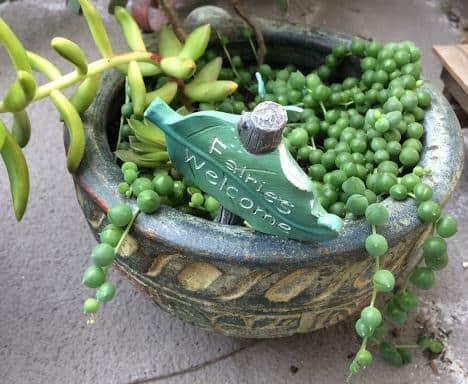 Senecio Rowleyanus String of Pearls propagation, stem cuttings