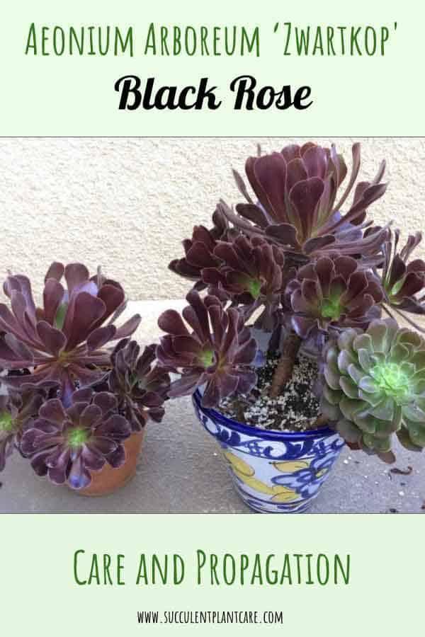 Aeonium arboreum 'Zwartkop' (Black Rose)