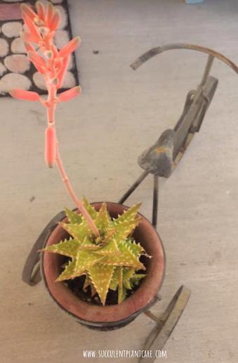 Aloe Juvenna 'Tiger Tooth Aloe' in bloom